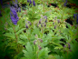Mobile Preview: 00050 / Aconitum carmichaelii 'Arendsii'