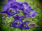 Preview: 00721 / Aconitum napellus