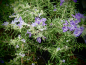Preview: 22104 / Rosmarinus officinalis 'Baie de Douarnenez'