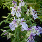 Preview: 22108 / Rosmarinus officinalis 'Faust'