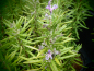Mobile Preview: 22188 / Rosmarinus officinalis 'BBQ'