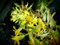 Preview: 24090 / Solidago virgaurea