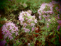 Preview: 25300-2 / Thymus neicefferi