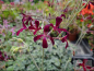 Preview: Bild zu Wildpelargonie