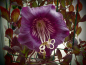 Preview: 11020 / Cobaea scandens