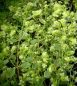 Mobile Preview: OR042 / Origanum majoricum 'Hippokrates'
