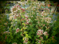 Preview: OR072 / Origanum vulgare ssp.virens