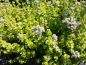 Preview: OR043 / Origanum onites 'Crinkle Leaf'