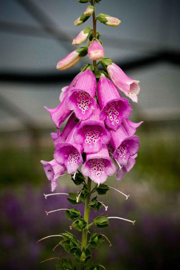 12112 / Digitalis purpurea