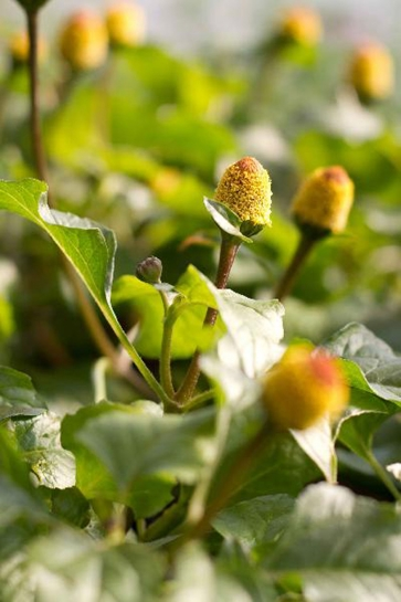 24200 / Spilanthes oleracea