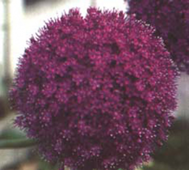 7580 / Allium aflatunense 'Purple Sensation'