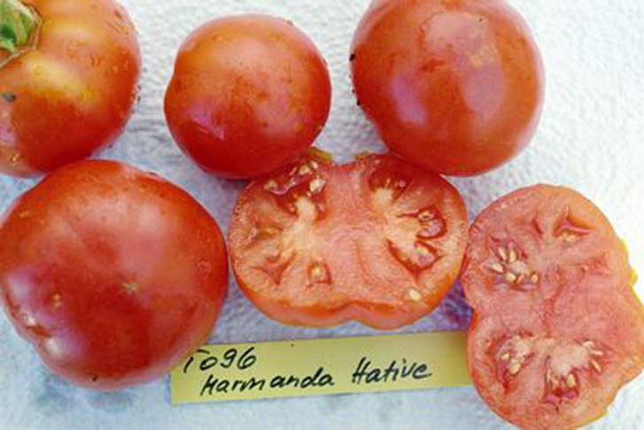 T096 / Marmande Hative