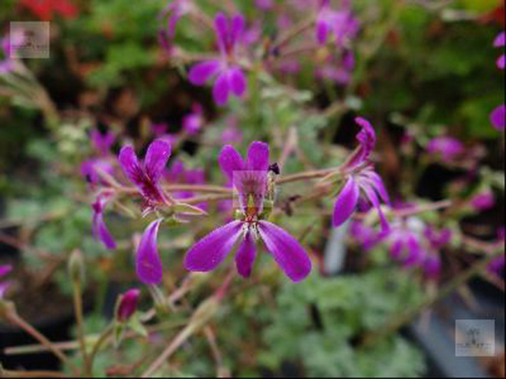 G230-2 / Pelargonie Deerwood/Lavender Lady
