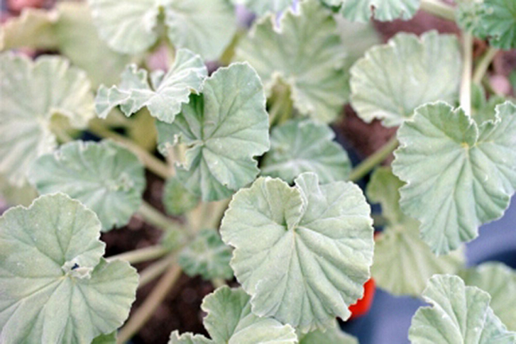G202-0 / Pelargonium Apple Mint