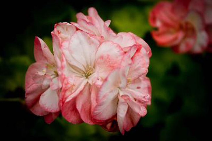 G209-1 / Pelargonium Bridesmaid