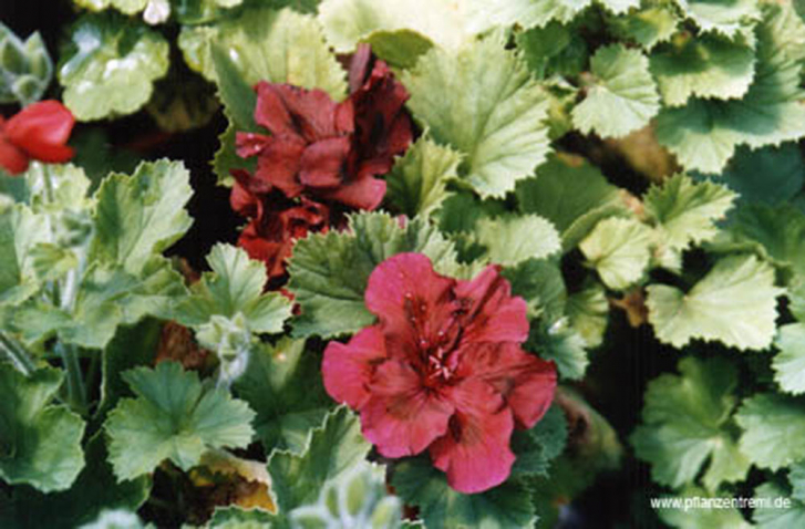 G209-2 / Pelargonium Burgundy