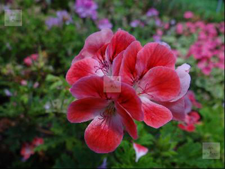 G263-3 / Pelargonium Pink Pet
