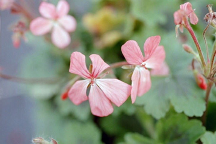 G278 / Pelargonium turtetoram