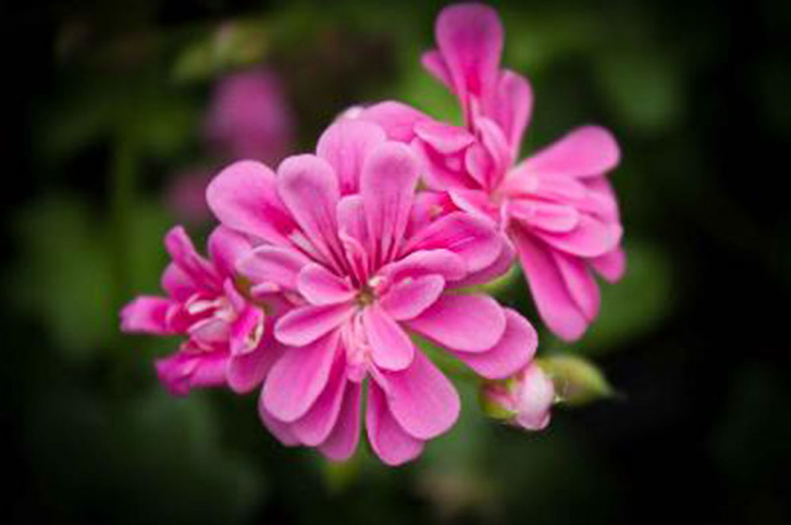 G309-2 / Pelargonium Sugar Baby