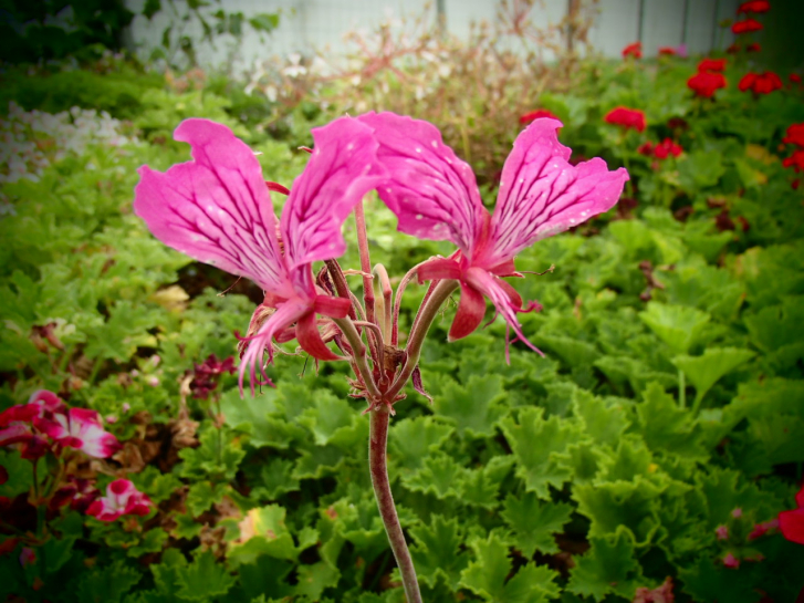 G237 / Pelargonium endlicherianum