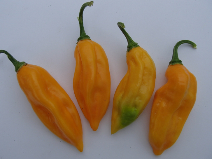P3037 / Bhut Jolokia Improved II