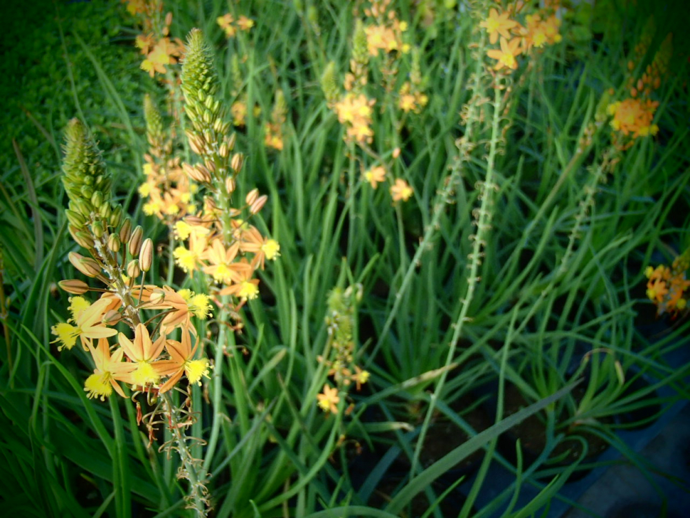 00941 / Bulbine frutescens