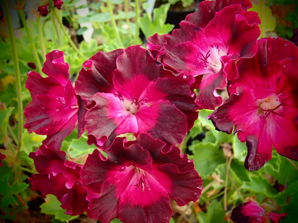 G302 / Pelargonium 'My Chance'