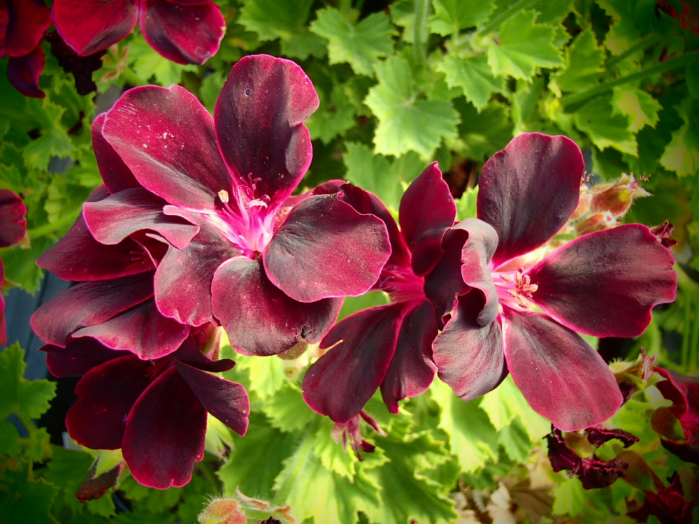 G303-2 / Pelargonium 'Lord Bute'